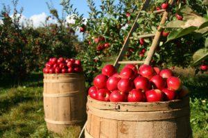 fruit picking orchard